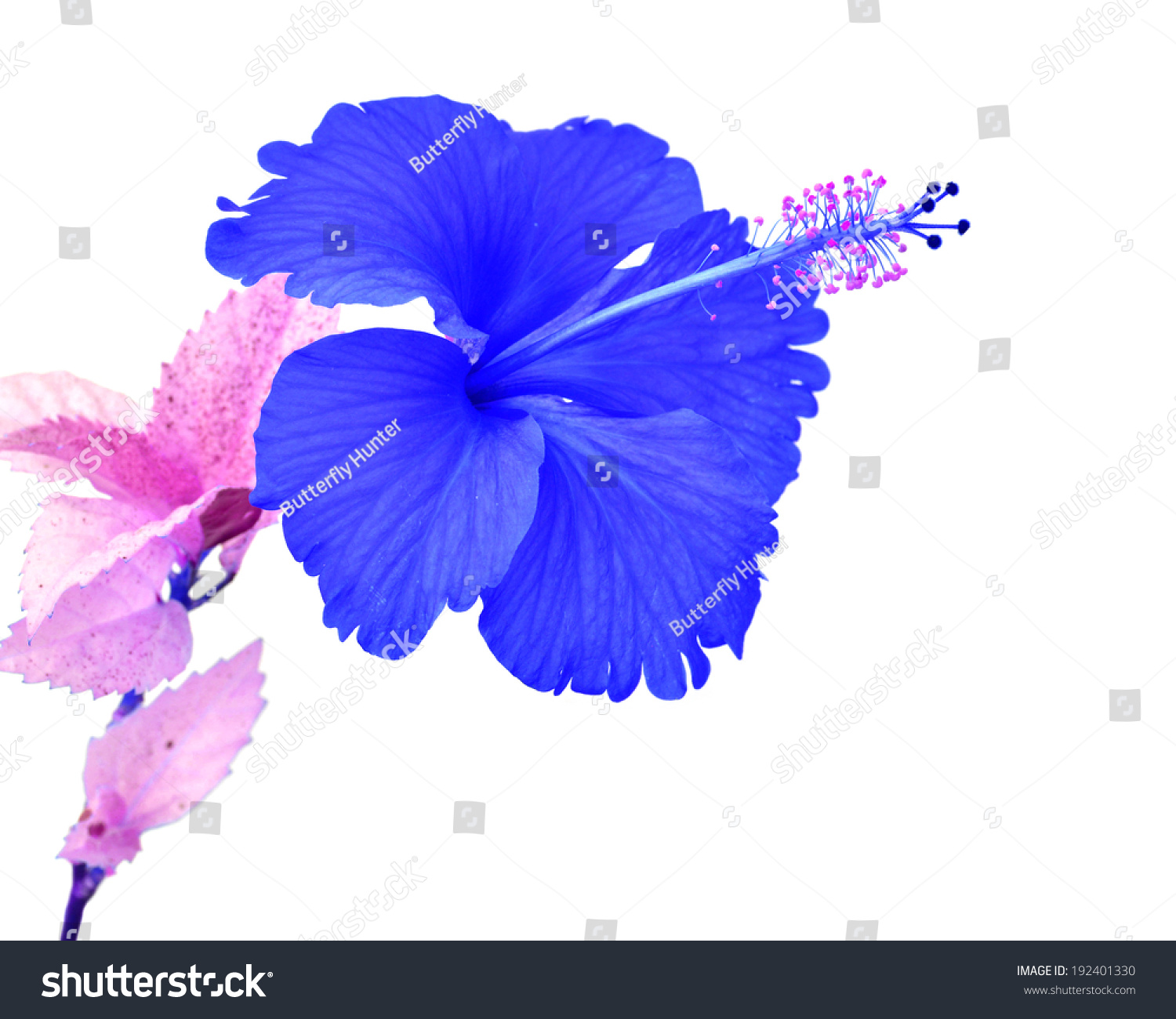 Beautiful blue hibiscus flower isolated on stock photo edit now beautiful blue hibiscus flower isolated on a white background izmirmasajfo