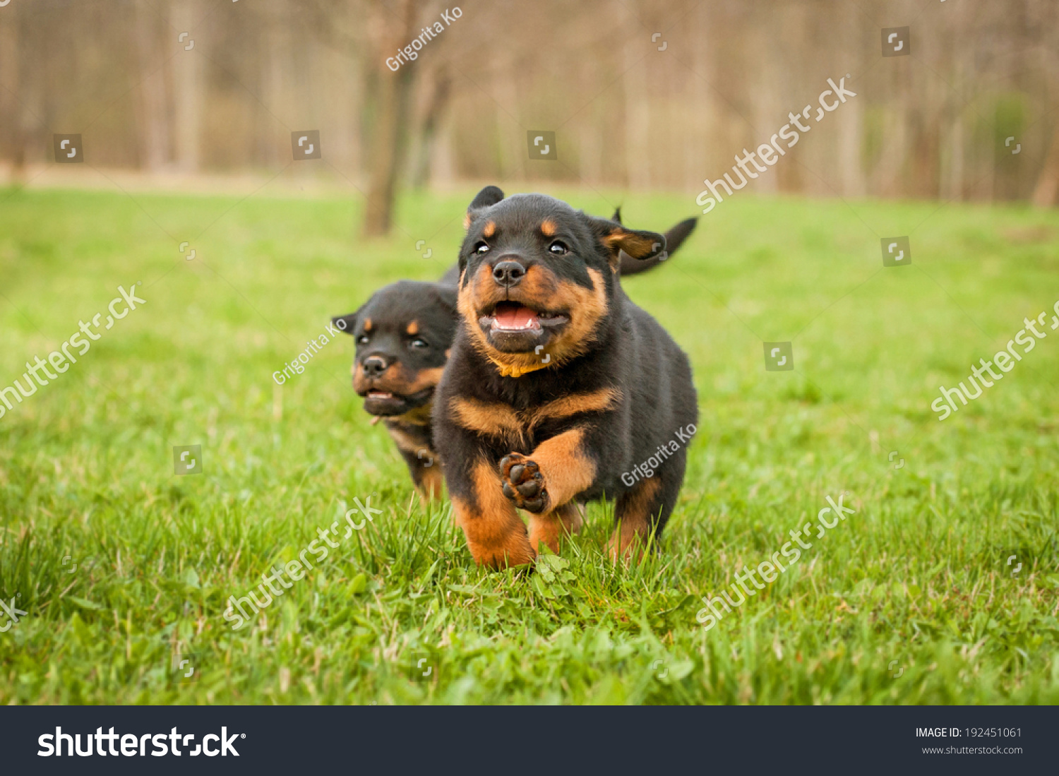 Rottweiler Puppies Running Stock Photo Edit Now 192451061