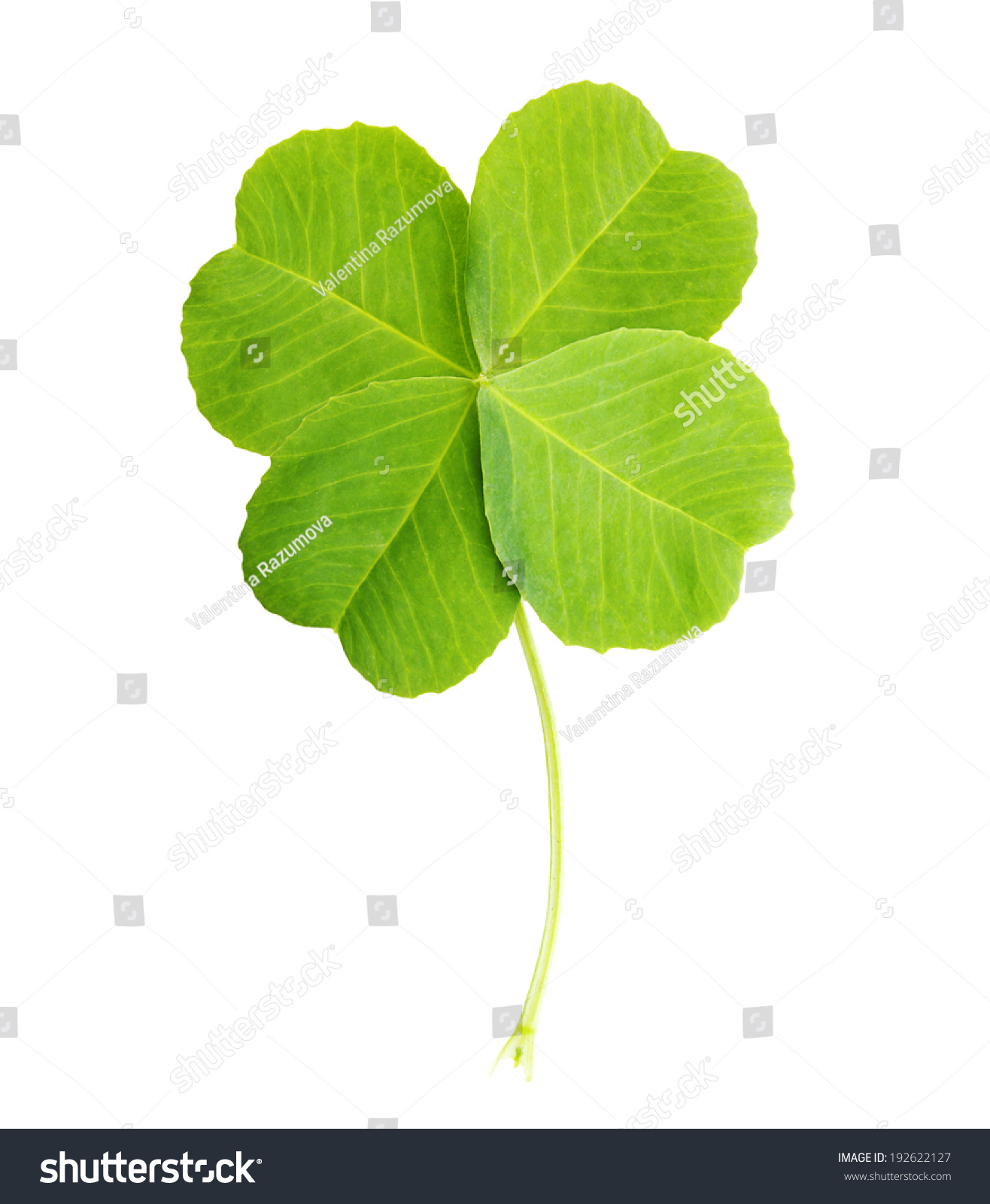 Green four-leaf clover leaf isolated on white background. #192622127