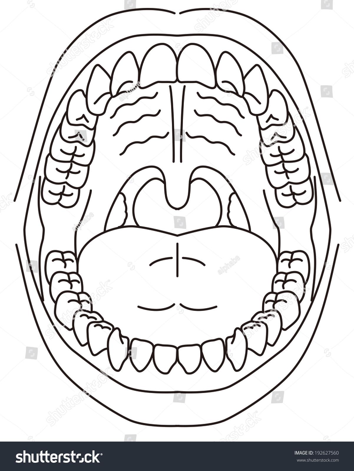 Schematic Diagram Oral Cavity Stock Vector 192627560