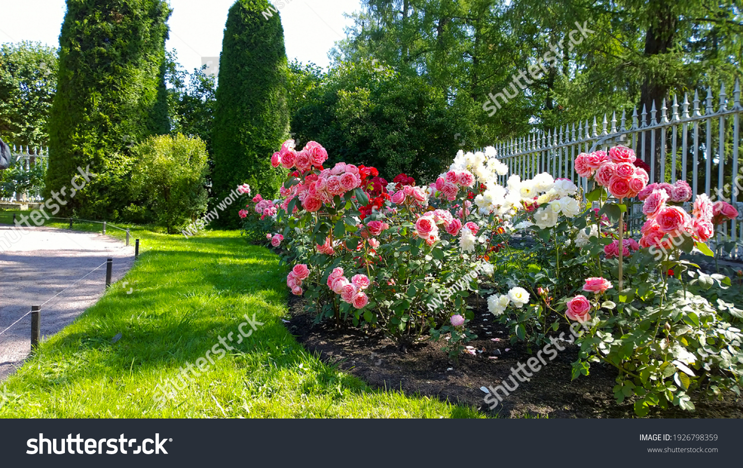 Beautiful pink, red and white nostalgic roses in the park. Flowerbed with shrub rose. Thuja topiary cone shaped on the background. Flowers Blossom. Flower cultivars, selection. Beauty in nature. #1926798359