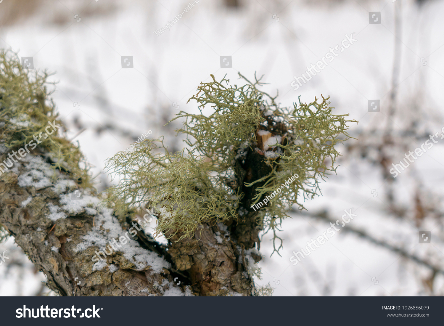 stock-photo-evernia-prunastri-on-a-tree-