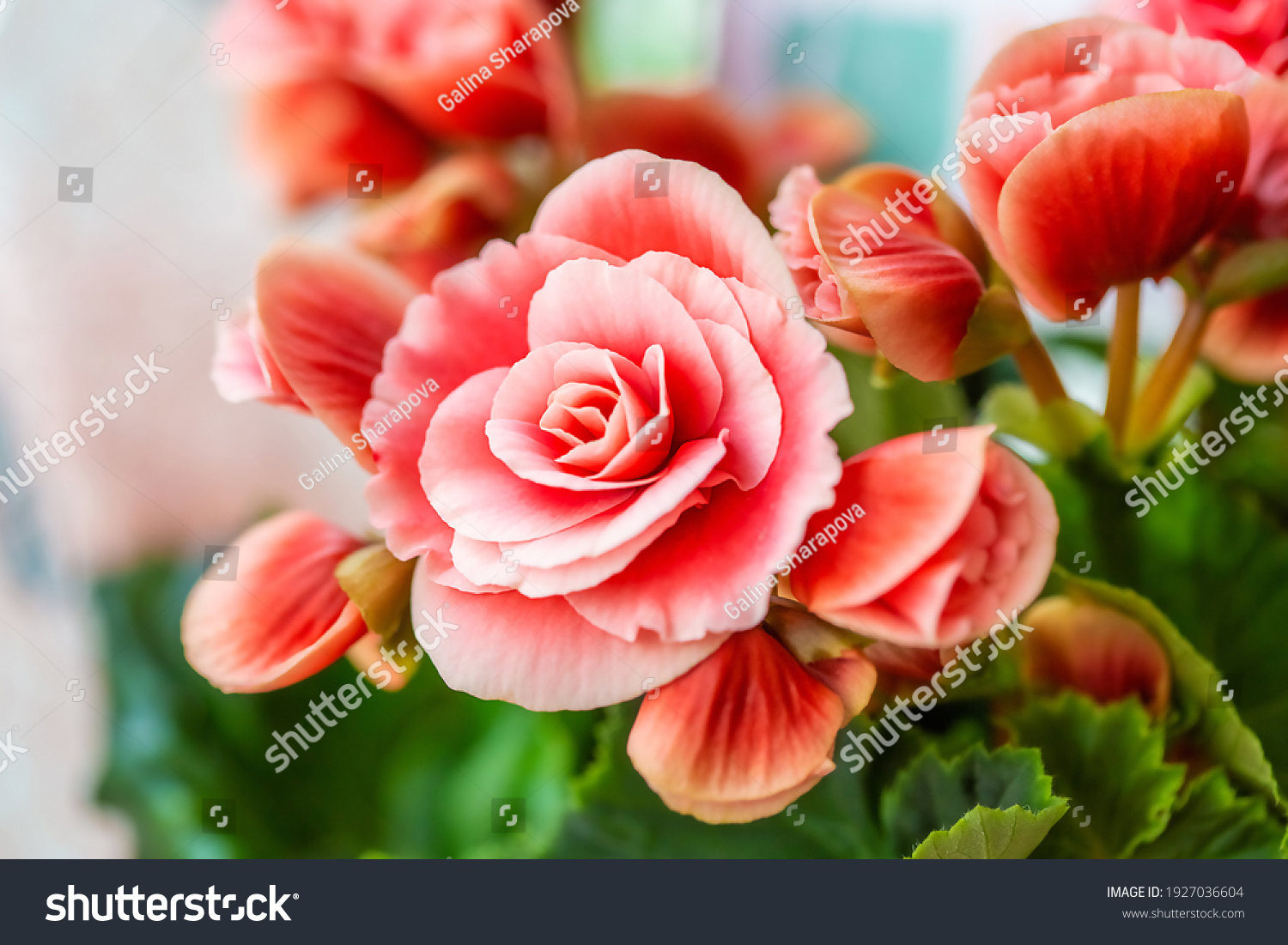 Close-up of pink begonia flowers showing their textures, patterns and details in a flower pot photographed with natural light. #1927036604