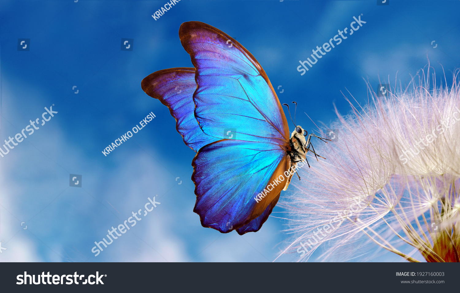 Natural pastel background. Morpho butterfly and dandelion. Seeds of a dandelion flower on a background of blue sky with clouds. Copy spaces #1927160003