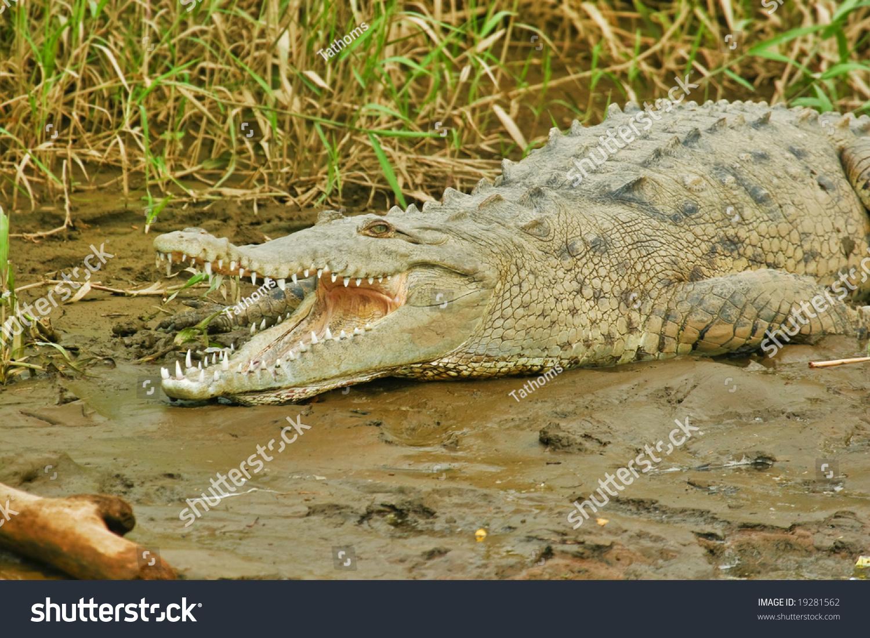 stock-photo-american-crocodile-19281562.
