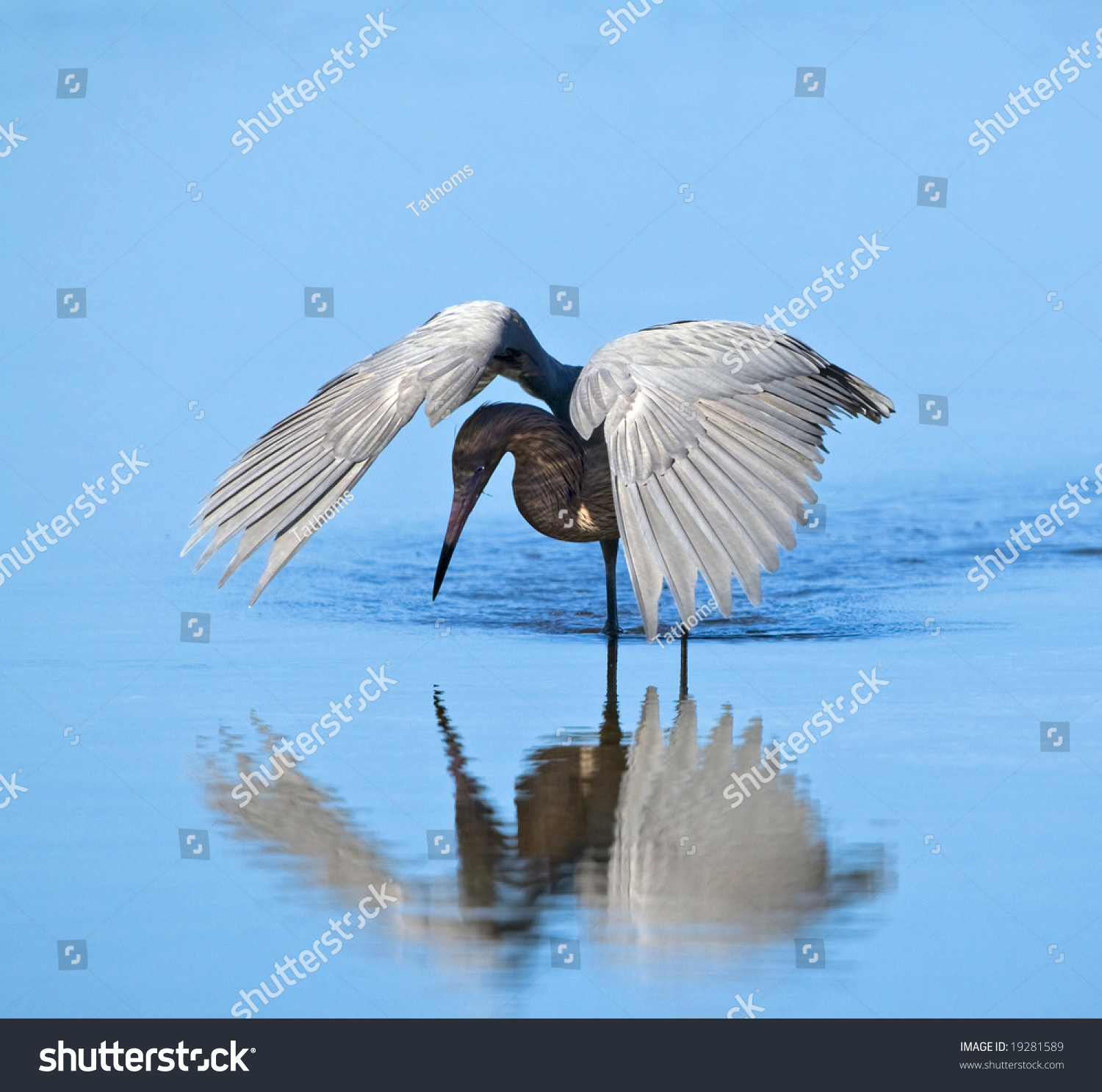 Reddish Egret hunting by shading the water