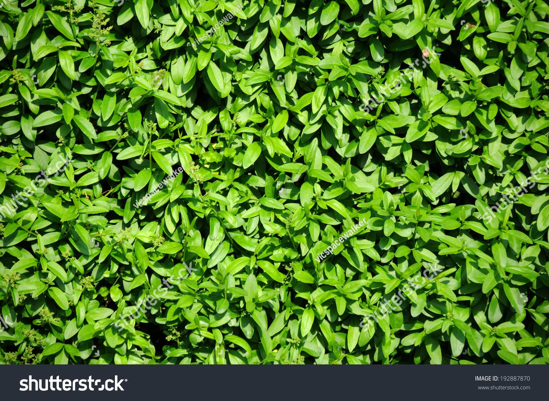 Closeup Evergreen Hedgegrow Garden Stock Photo 192887870 ...