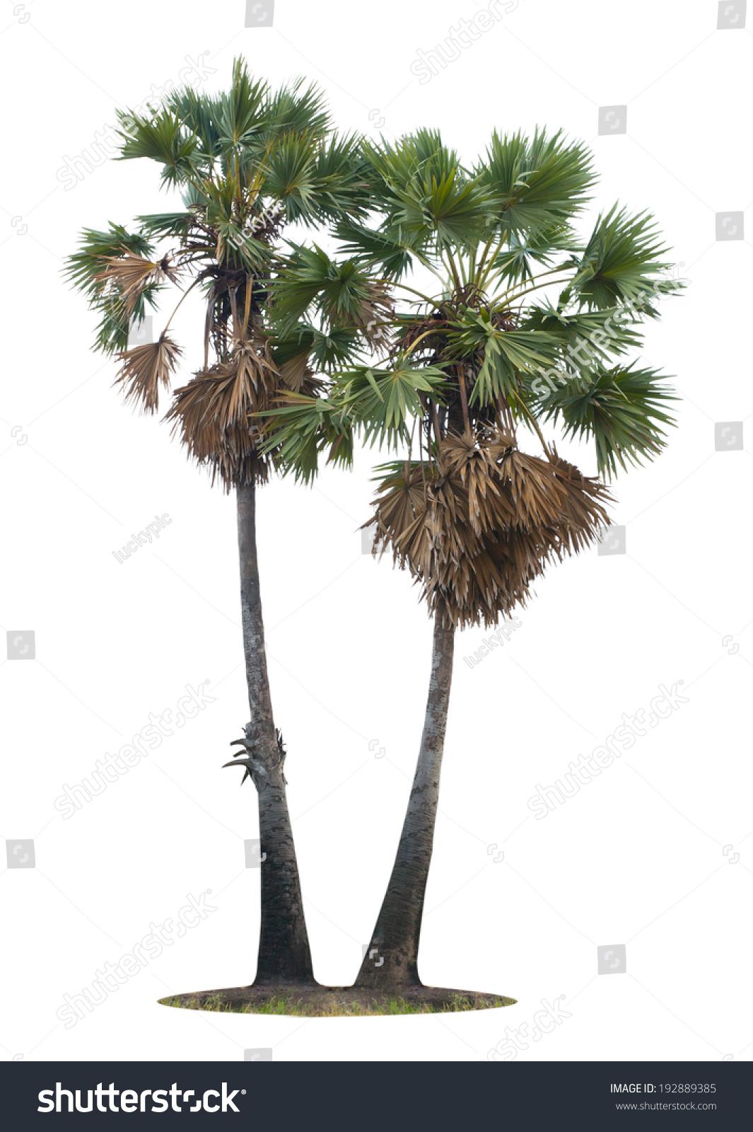 palm tree white - photo #25