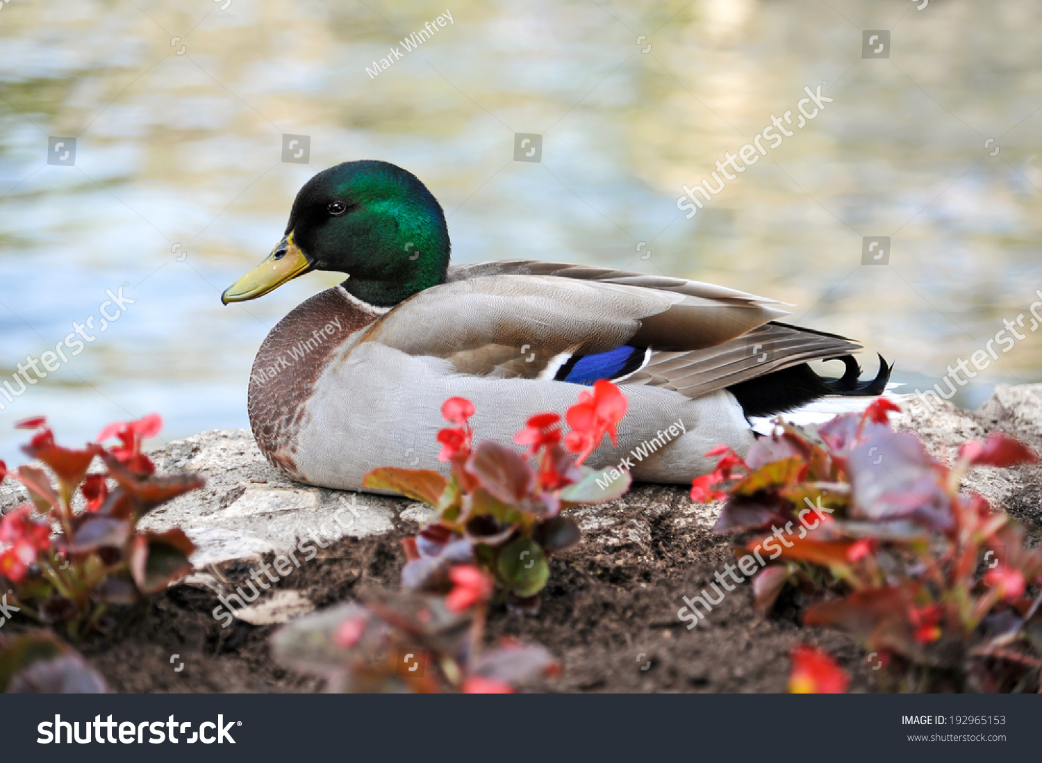 Mallard Duck Standing on Flower Bed Wall at the River