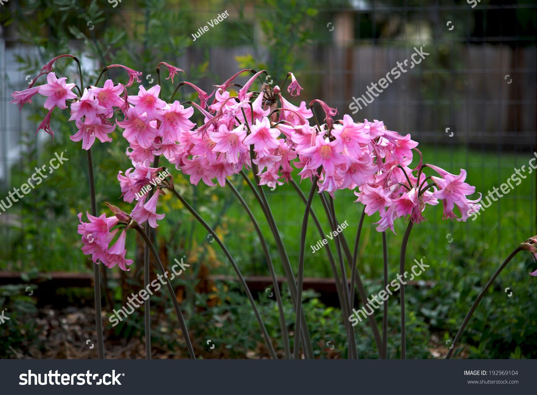 Amaryllis Belladonna Naked Lady Flower Blooms Stock Photo Edit Now