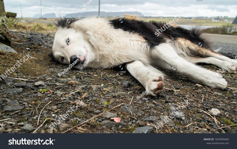 stock-photo-a-border-collie-farm-dog-lay