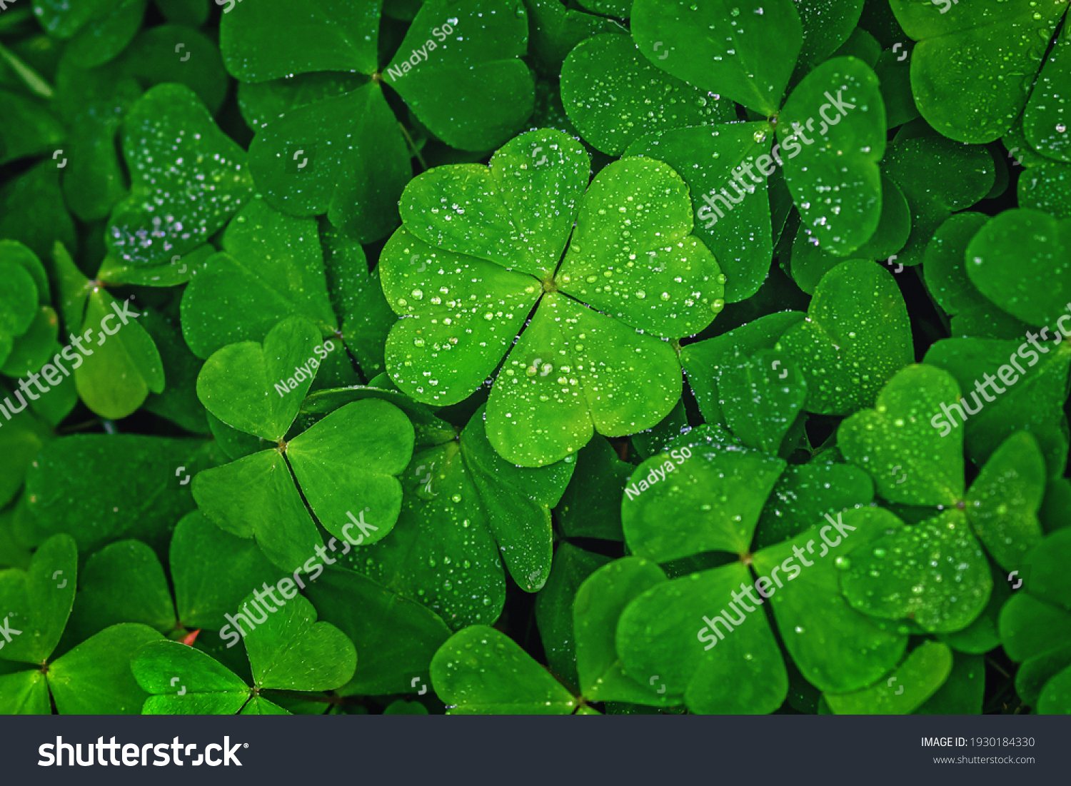 Four-leaf clover stands out against green leaves #1930184330