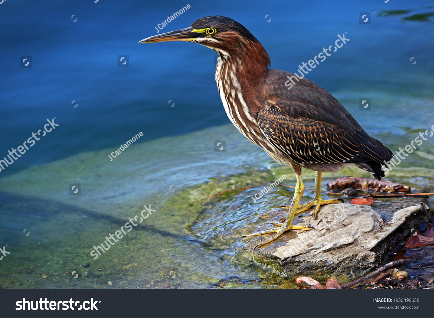 A juvenile green heron in search of a meal. #1930498658