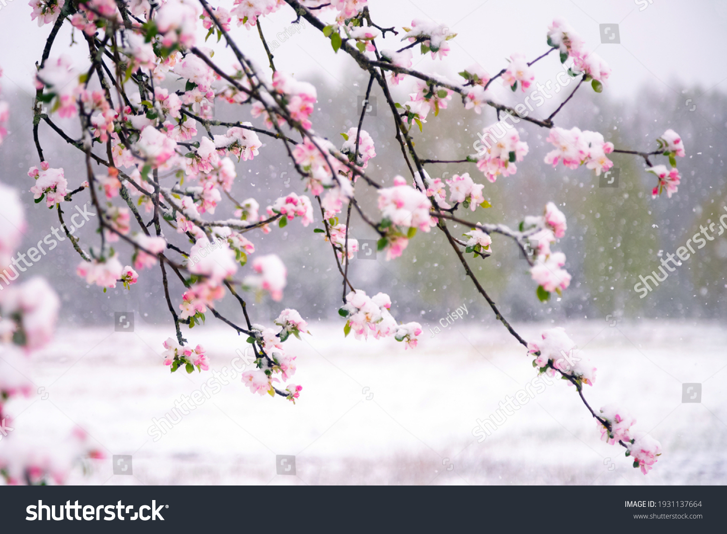 Apple tree blossoms covered in snow during unexpected snowfall in spring. Blooming flowers freezing under white snow in the garden. #1931137664