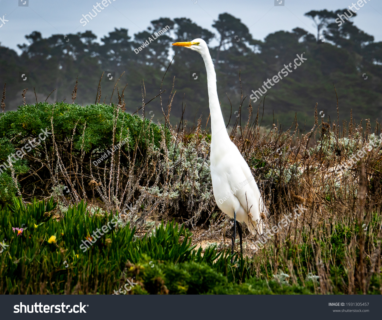 A Great White Heron (Egret) stands among protected sand dunes at Asilomar State Park and Beach along the Monterey Bay of the pacific central coast of California. Monterey Cypress trees in background.