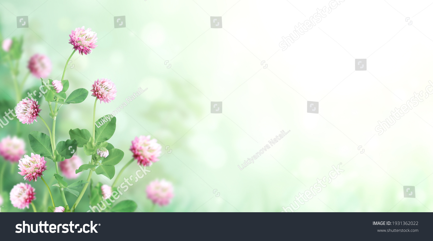 Wild red clover (Trifolium pratense) on sunny beautiful nature spring background. Summer scene with clover flower of pink color. Horizontal spring banner with flowers. Copy space for text   #1931362022
