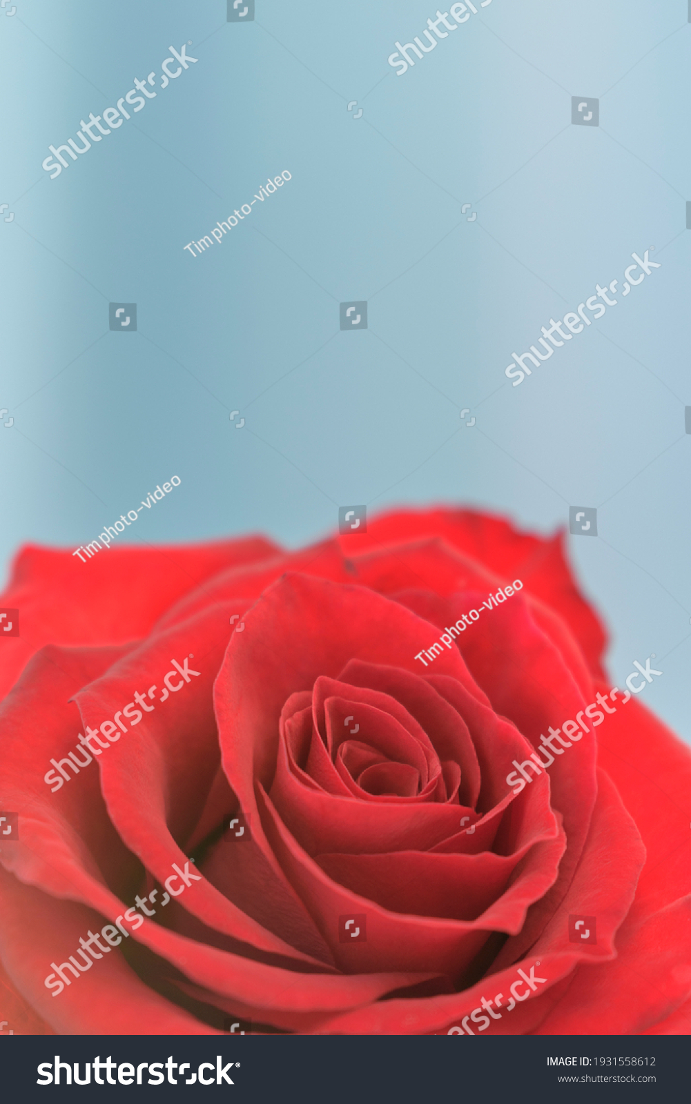 stock-photo-red-rose-close-up-of-a-bud-v