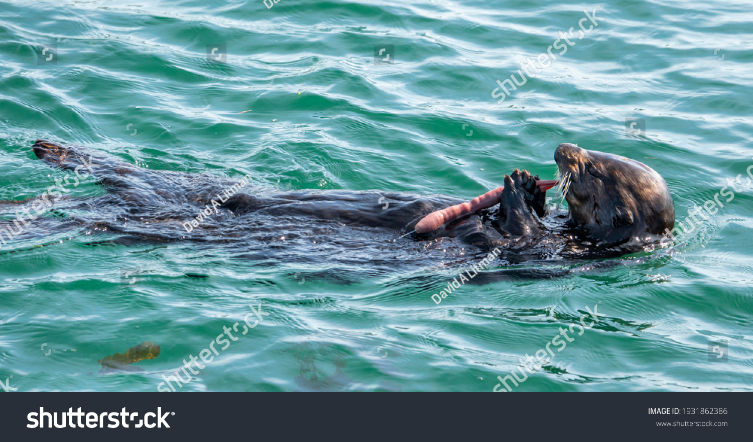 """A Southern Sea Otter (Enhydra lutris) eats a """"Penis Worm"""" (Priapulida) along the Pacific coast of central California in Monterey."""