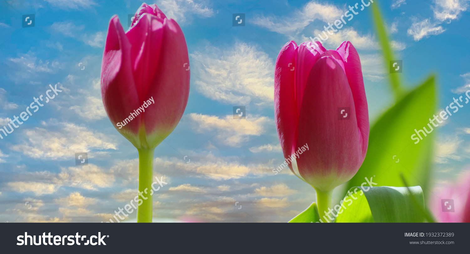 Pink tulips sunny sky spring happy mood beautiful nature happiness