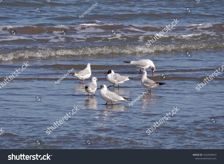 Undisturbed black-headed gulls (Chroicocephalus ridibundus) in the shallow water of the sea on sunny day.
