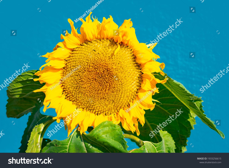 stock-photo-sunflower-flower-on-blue-bac