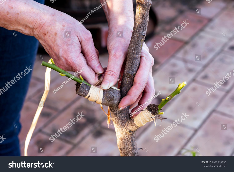 stock-photo-hands-grafting-a-lemon-tree-