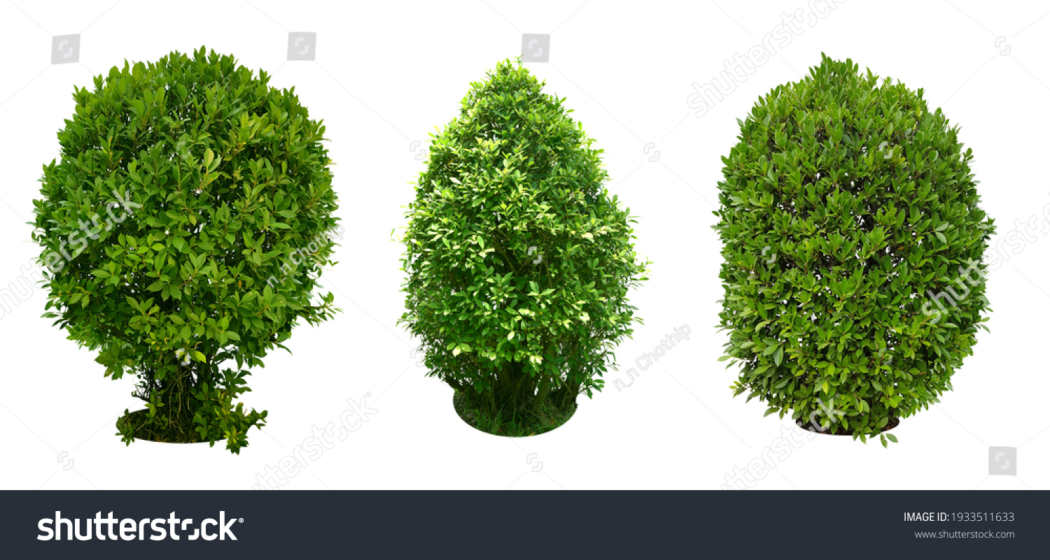 Bush, Dwarf trees, ornamental trees, shrubs., Siamese rough bush, pruning tree for garden decoration.  Total of 3 Isolated on white background and clipping path. #1933511633
