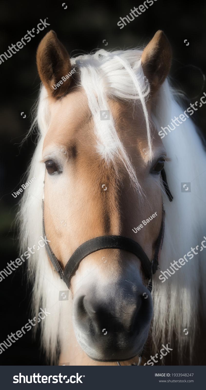 stock-photo-haflinger-mare-portrait-in-t