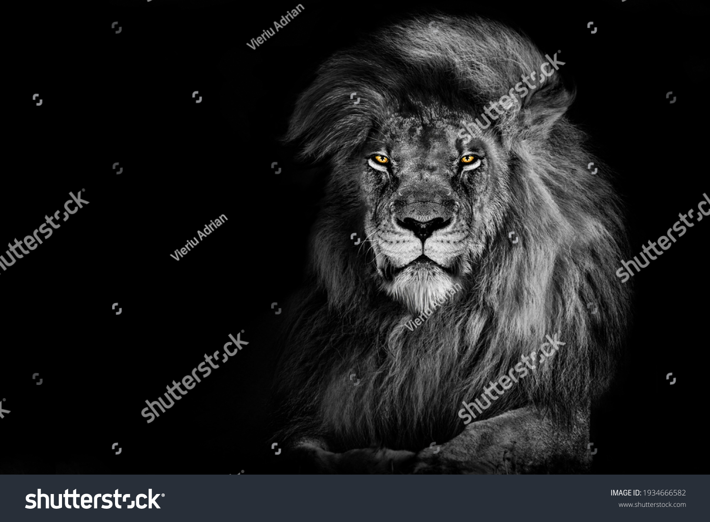 Lion king isolated on black , Portrait Wildlife animal  #1934666582