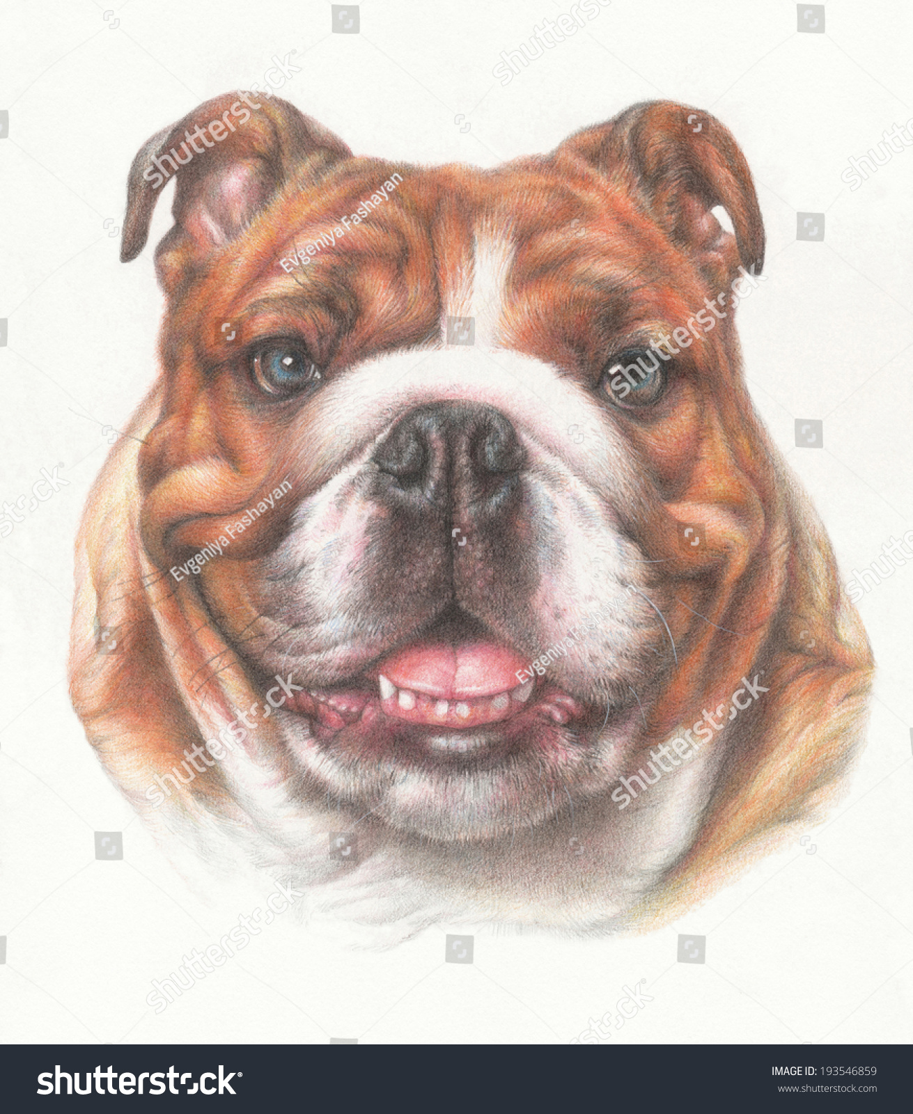 head of english bulldog drawing with colored pencils