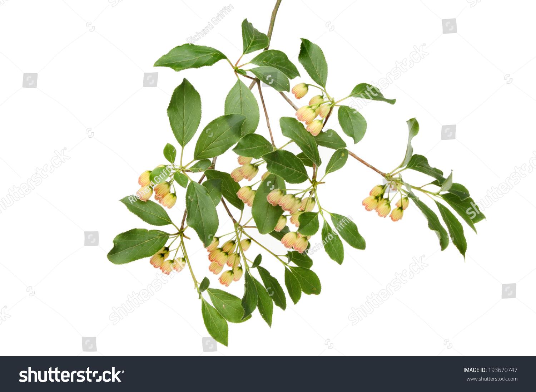 Small bell shaped creamy white flowers stock photo edit now small bell shaped creamy white flowers and foliage of an enkianthus campanulatus shrub pergoda bush mightylinksfo