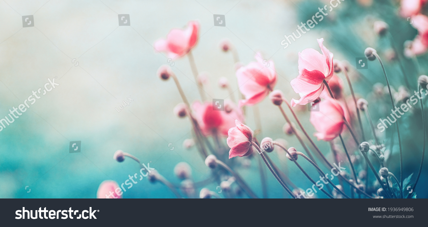 Gently pink flowers of anemones outdoors in summer spring close-up on turquoise background with soft selective focus. Delicate dreamy image of beauty of nature. #1936949806