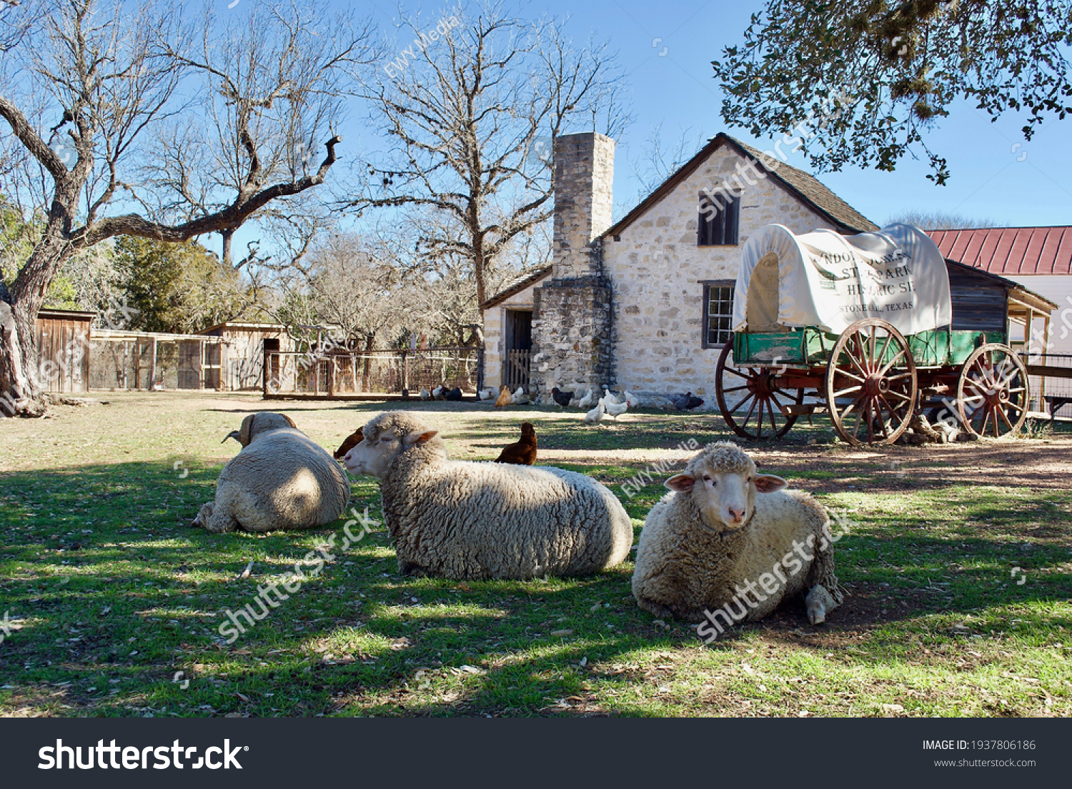 Sheep and a covered wagon at Lyndon B. Johnson State Park and Historic Site and the Sauer-Beckmann Farmstead, living history farm that presents rural Texas life as it was around 1918. #1937806186