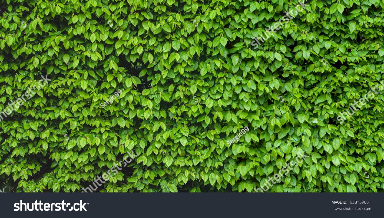 Green shrub hedge, fresh green leaves for texture background. Lush vegetation close-up, horizontal photo. #1938159001