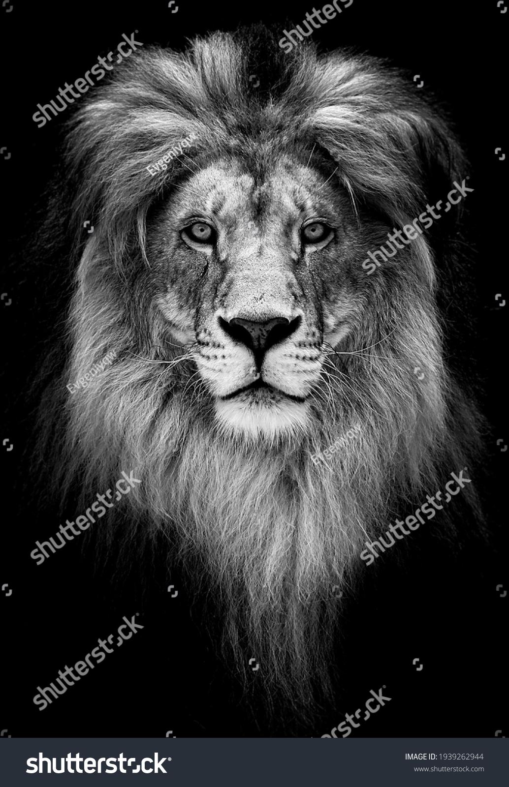 Portrait of a Beautiful lion, lion in dark. #1939262944