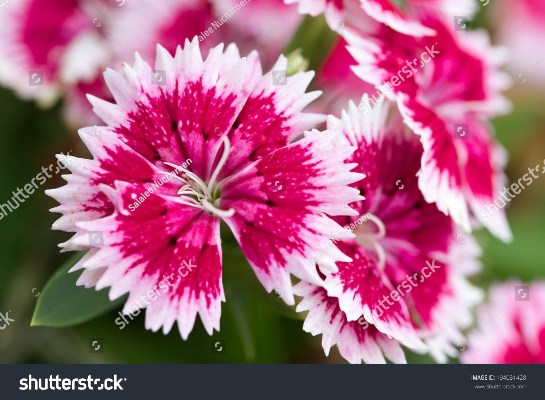 China Pink Flower Garden Stock Photo Edit Now 194031428 Shutterstock