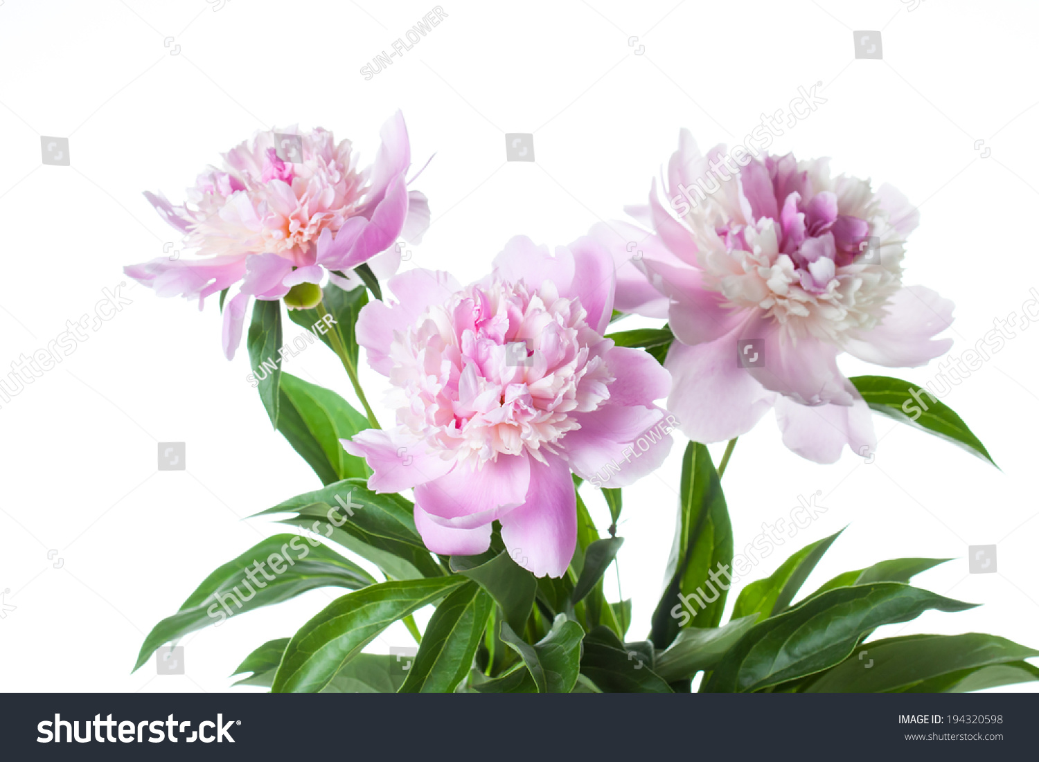 Peonies White Pink Flowers On White Background Closeup Spring