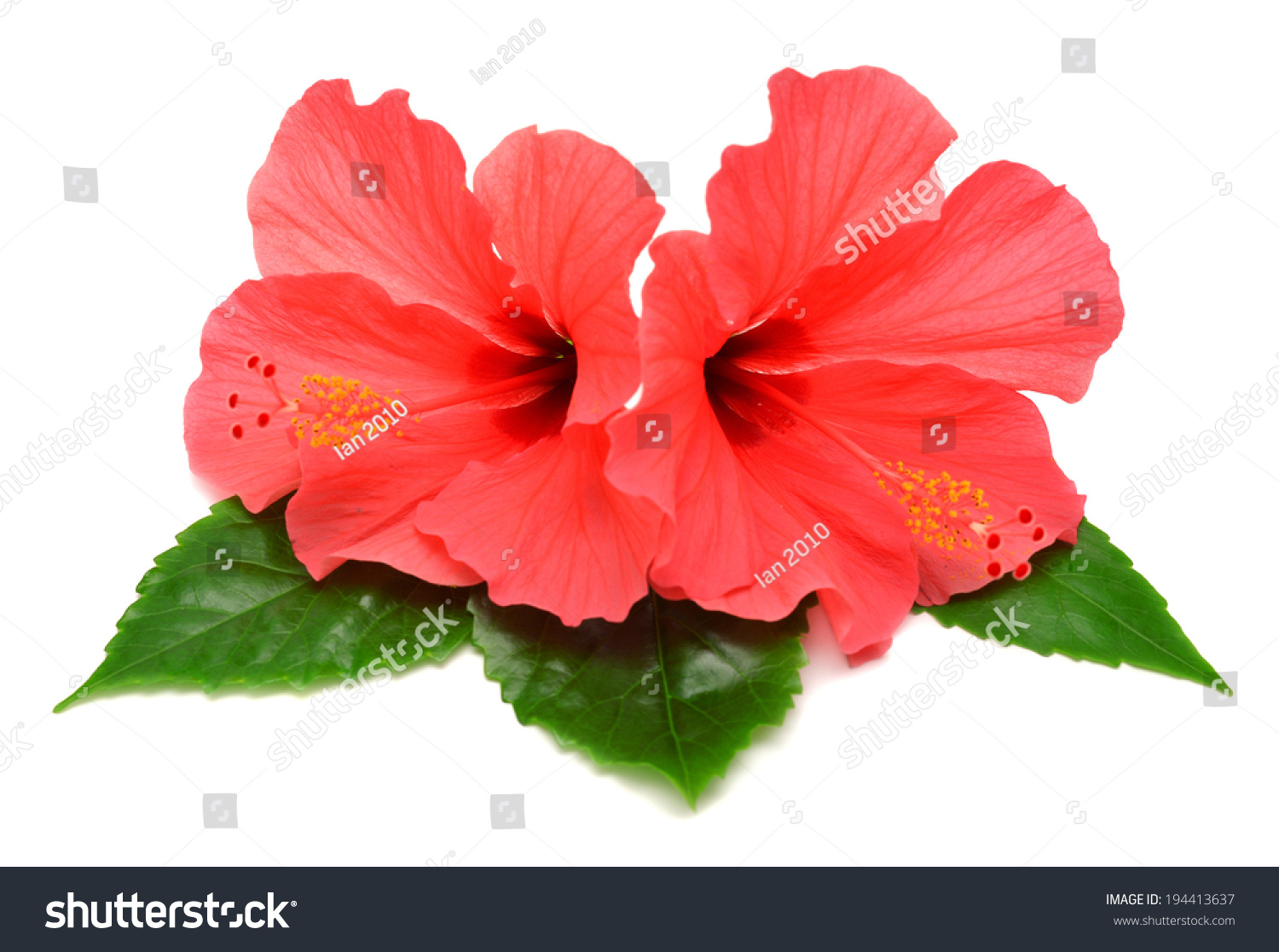 Postcard from hibiscus flowers isolated on white background ez canvas id 194413637 izmirmasajfo