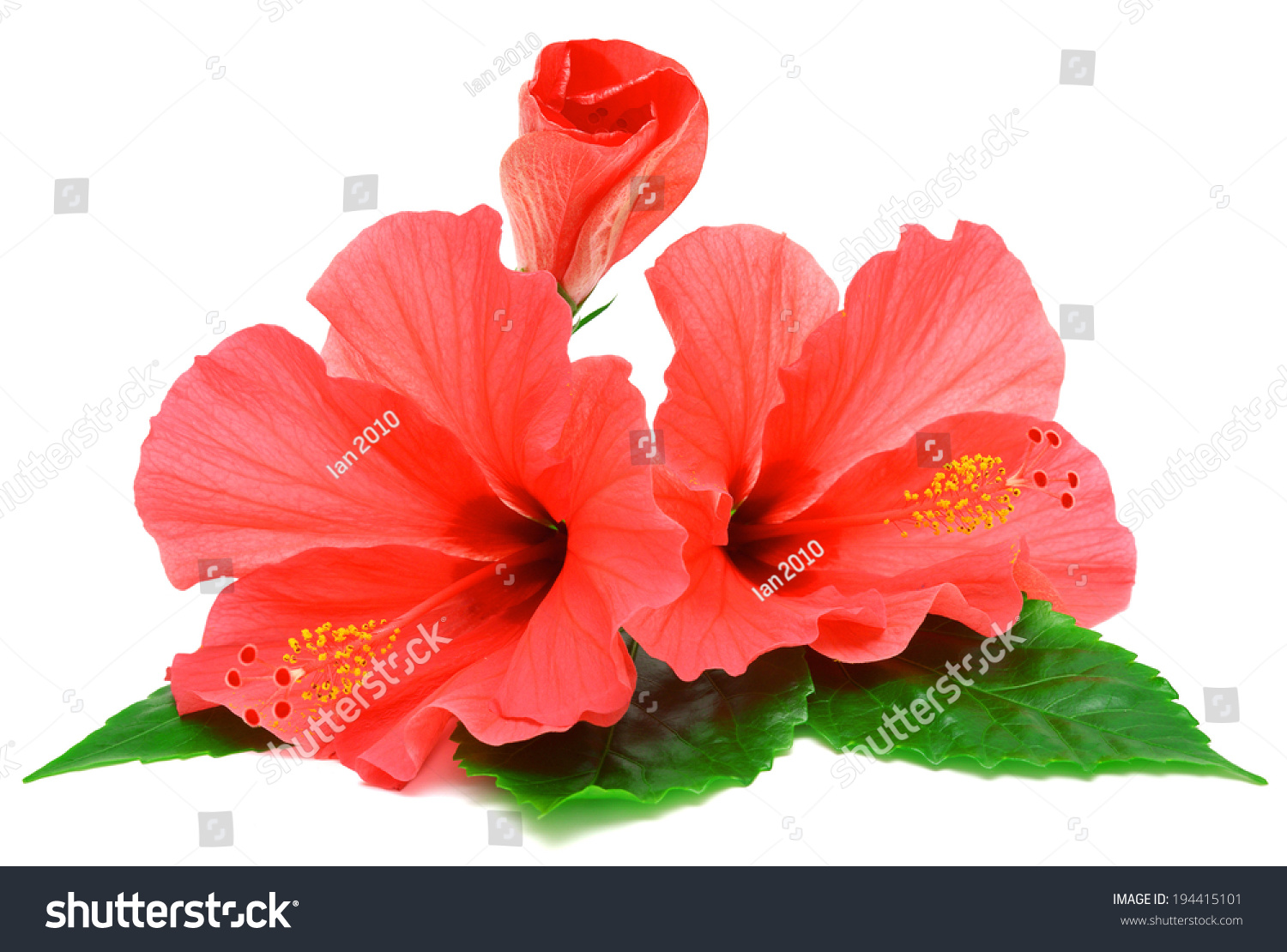 Postcard from hibiscus flowers isolated on white background ez canvas id 194415101 izmirmasajfo