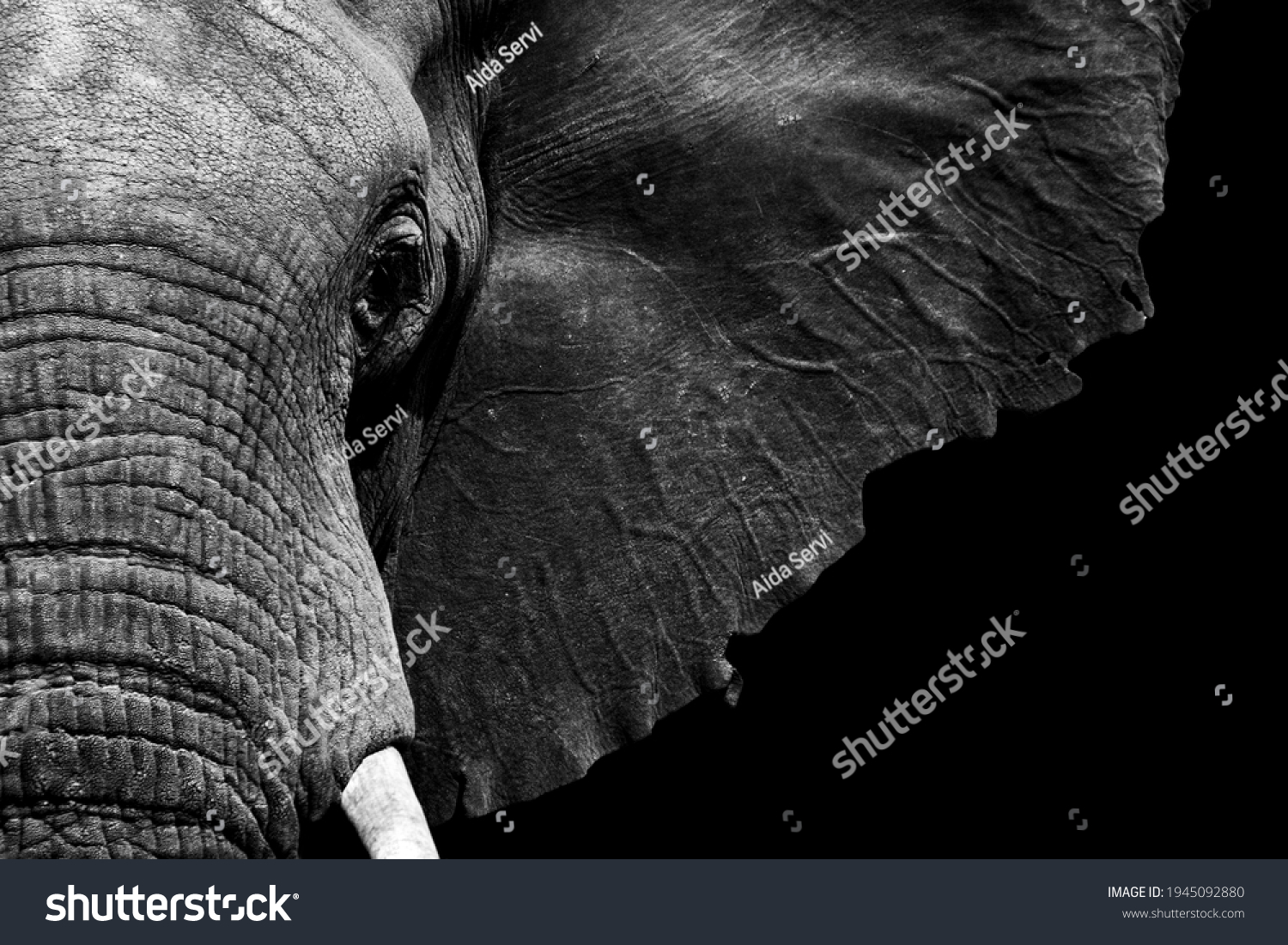 African elephant close-up in textured black and white processed #1945092880