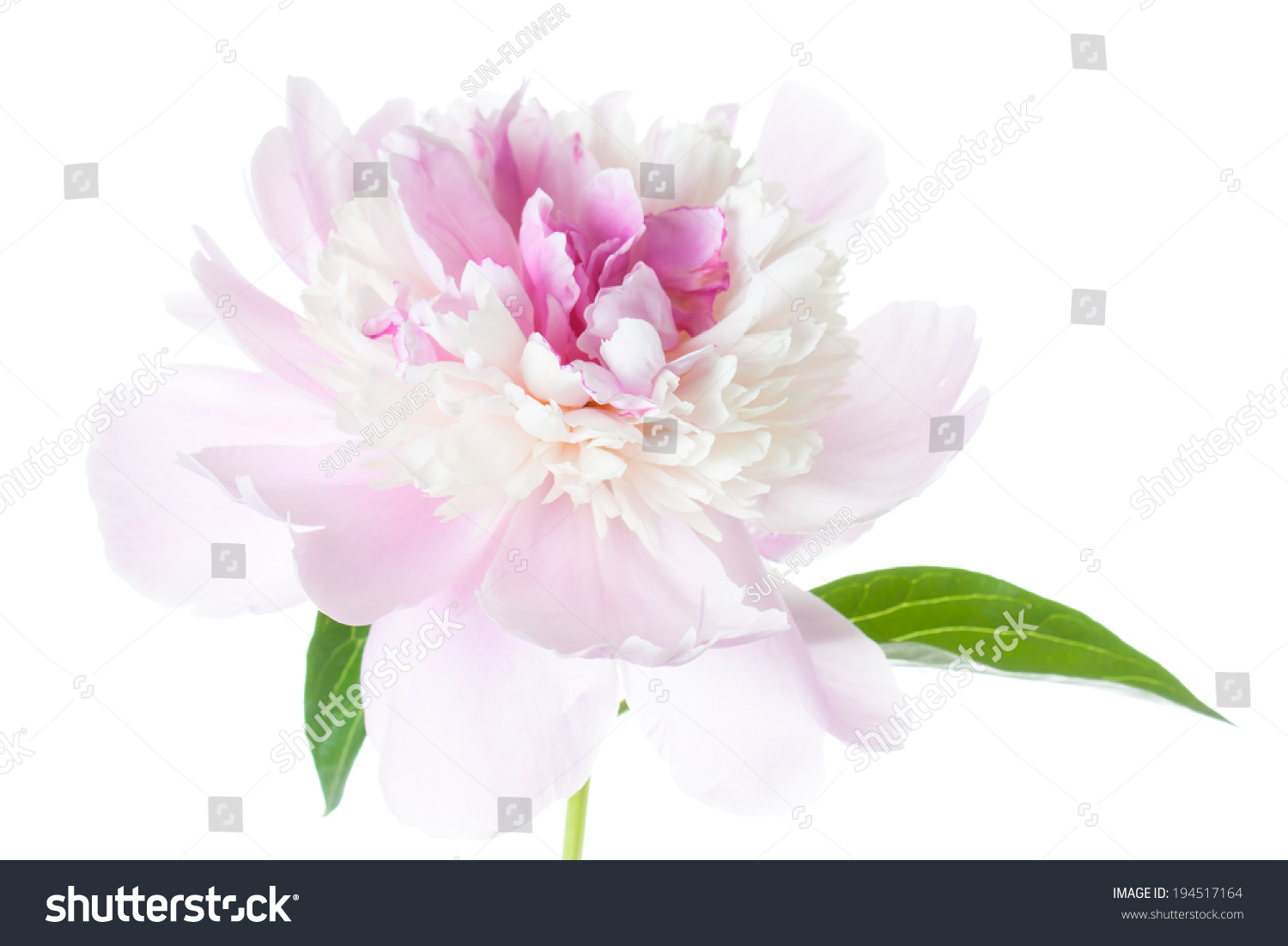 Peonies, Pink Flowers On White Background, Beautiful