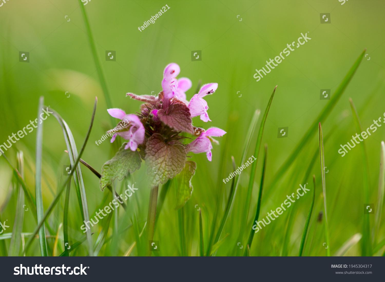 stock-photo-dead-nettle-flower-in-the-gr