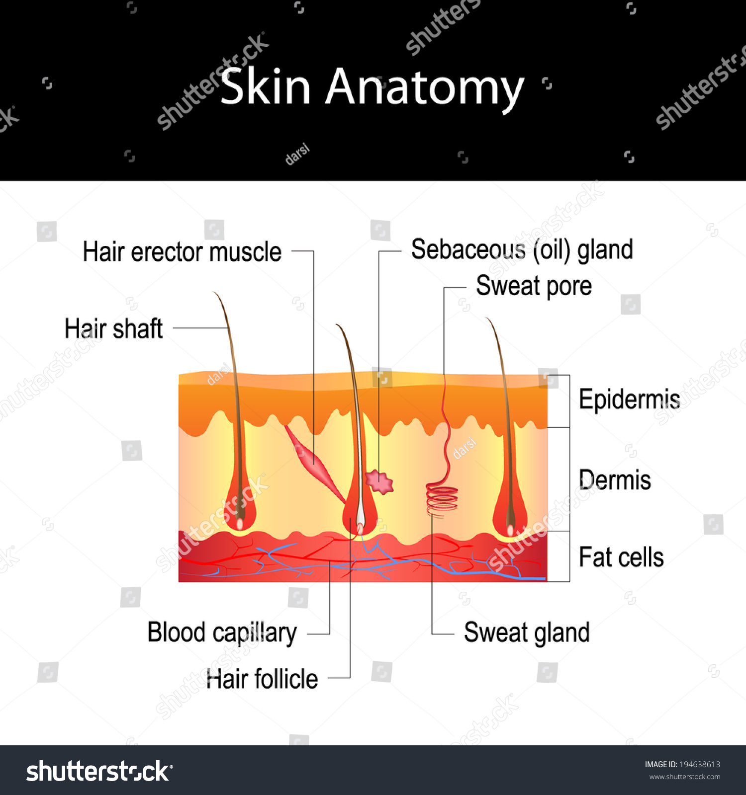 Royalty free human skin cross section hair 194638613 stock human skin cross section hair structure diagram isolated on white background pooptronica
