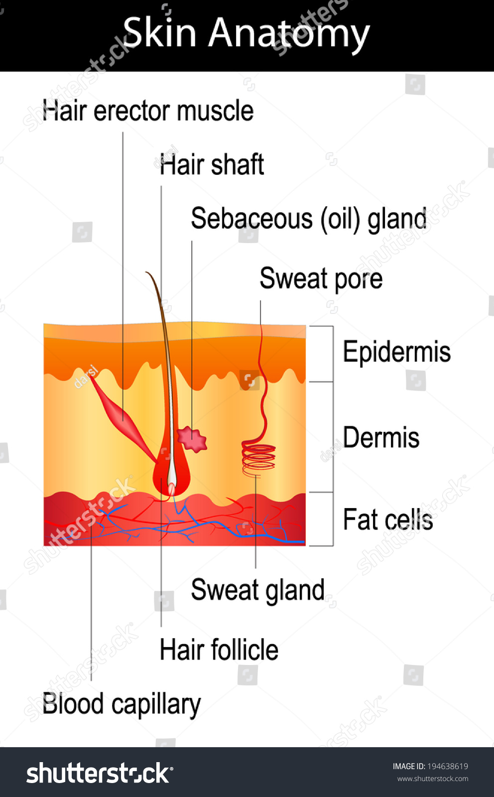 Human skin crosssection hair structure diagram stock vector human skin cross section hair structure diagram isolated on white background pooptronica