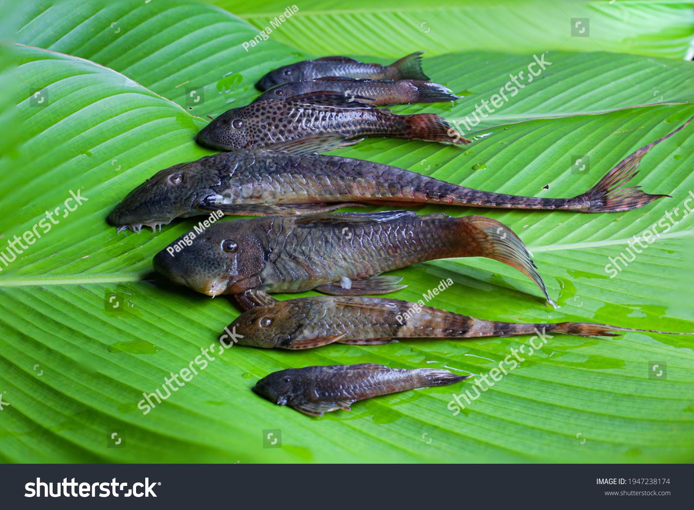stock-photo-six-species-of-armored-catfi