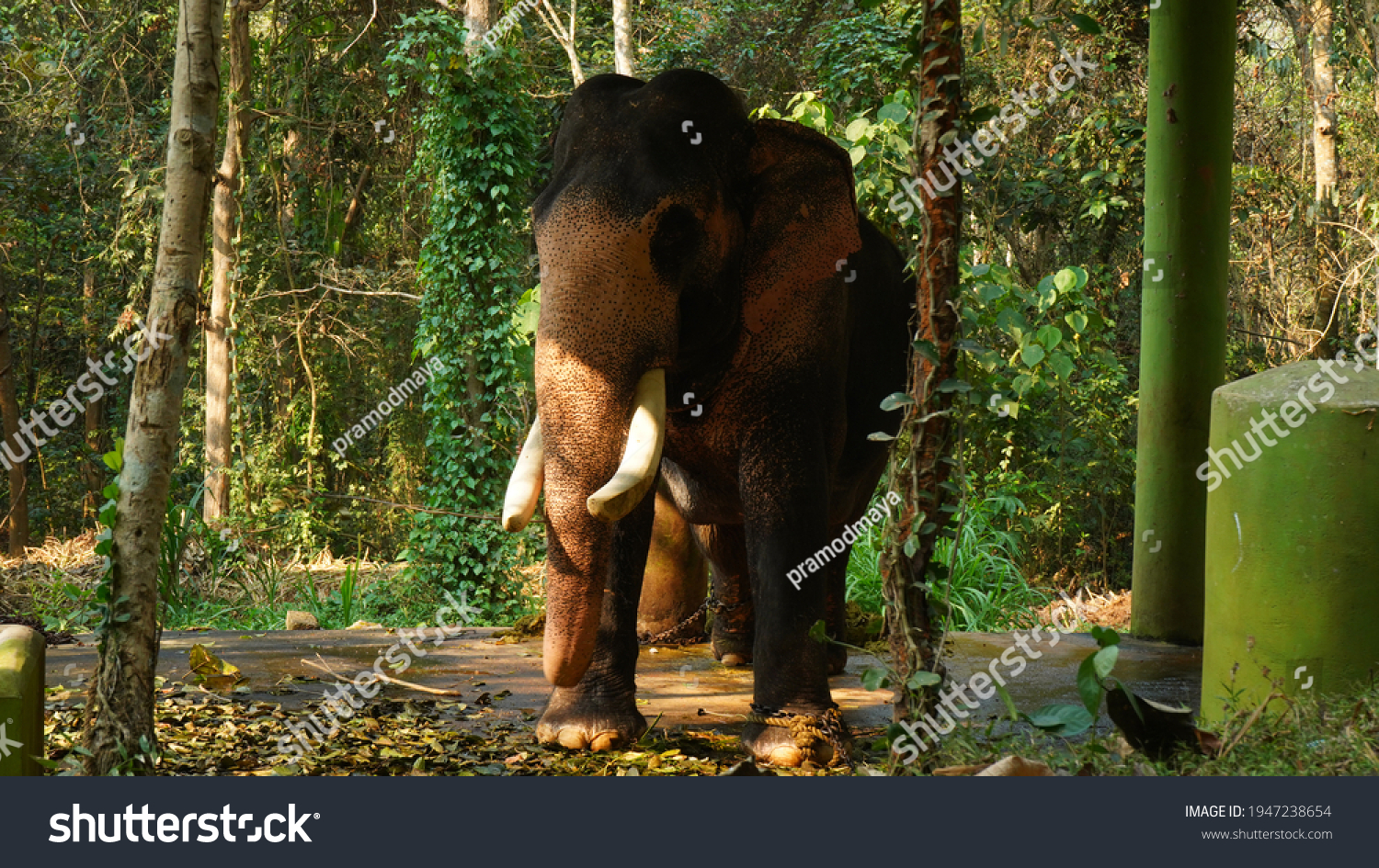 Kodanad Elephant Training Centre, one of the largest elephant training centers in Kerala. Since the capture of pachyderms was deemed illegal in the state,   #1947238654
