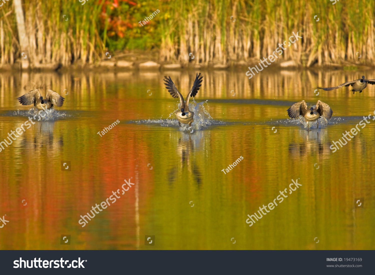 stock-photo-taking-off-canada-geese-1947