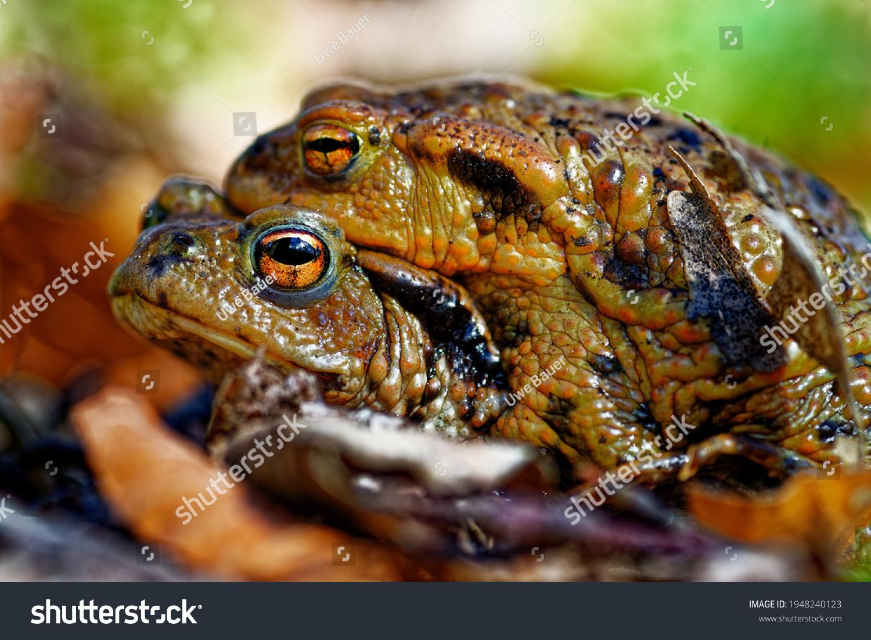 stock-photo-common-toads-bufo-bufo-matin