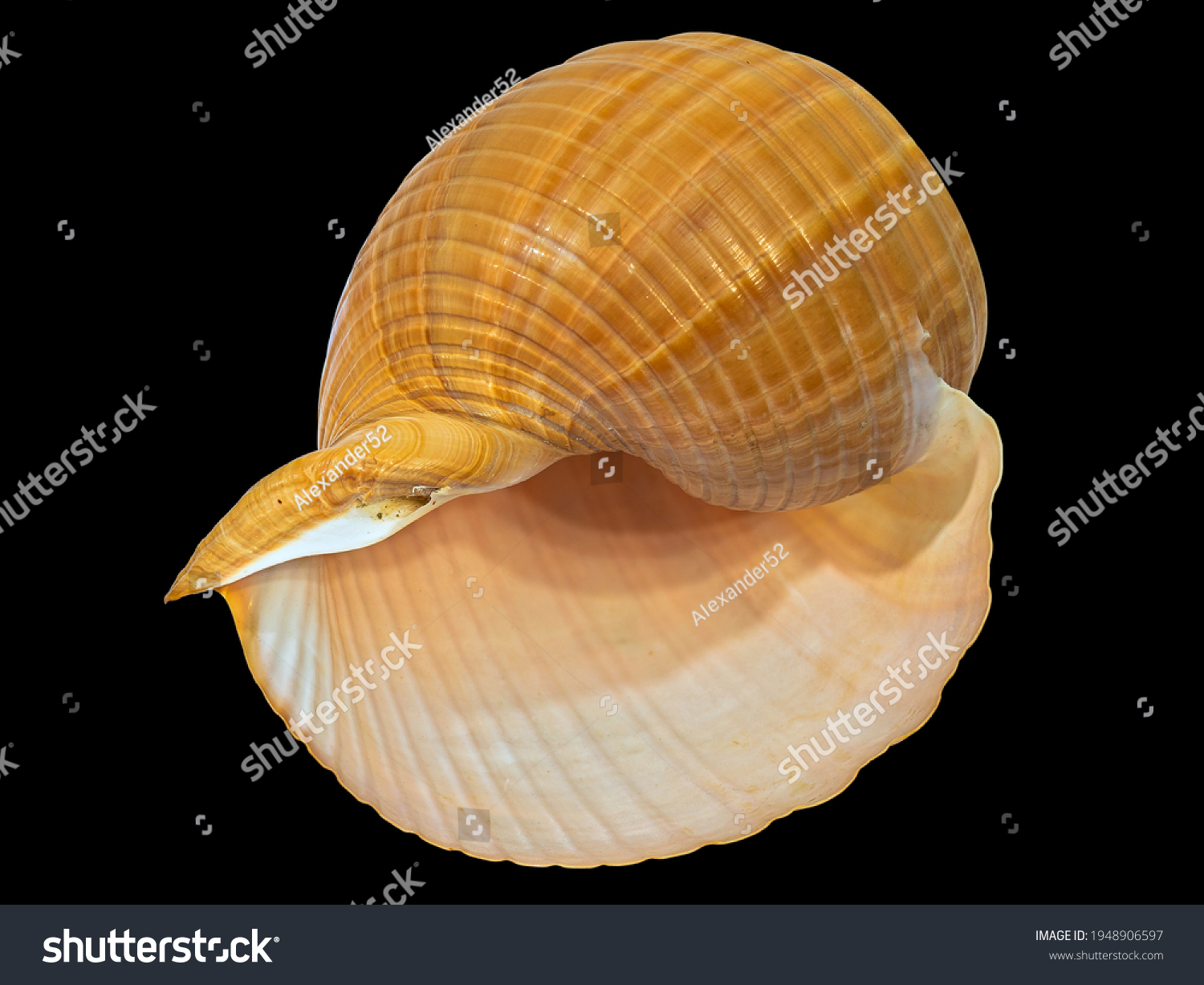 The Shell of the Land Gastropod Mollusk Achatina Fulica (Latin Name). Isolated On Black Background  #1948906597