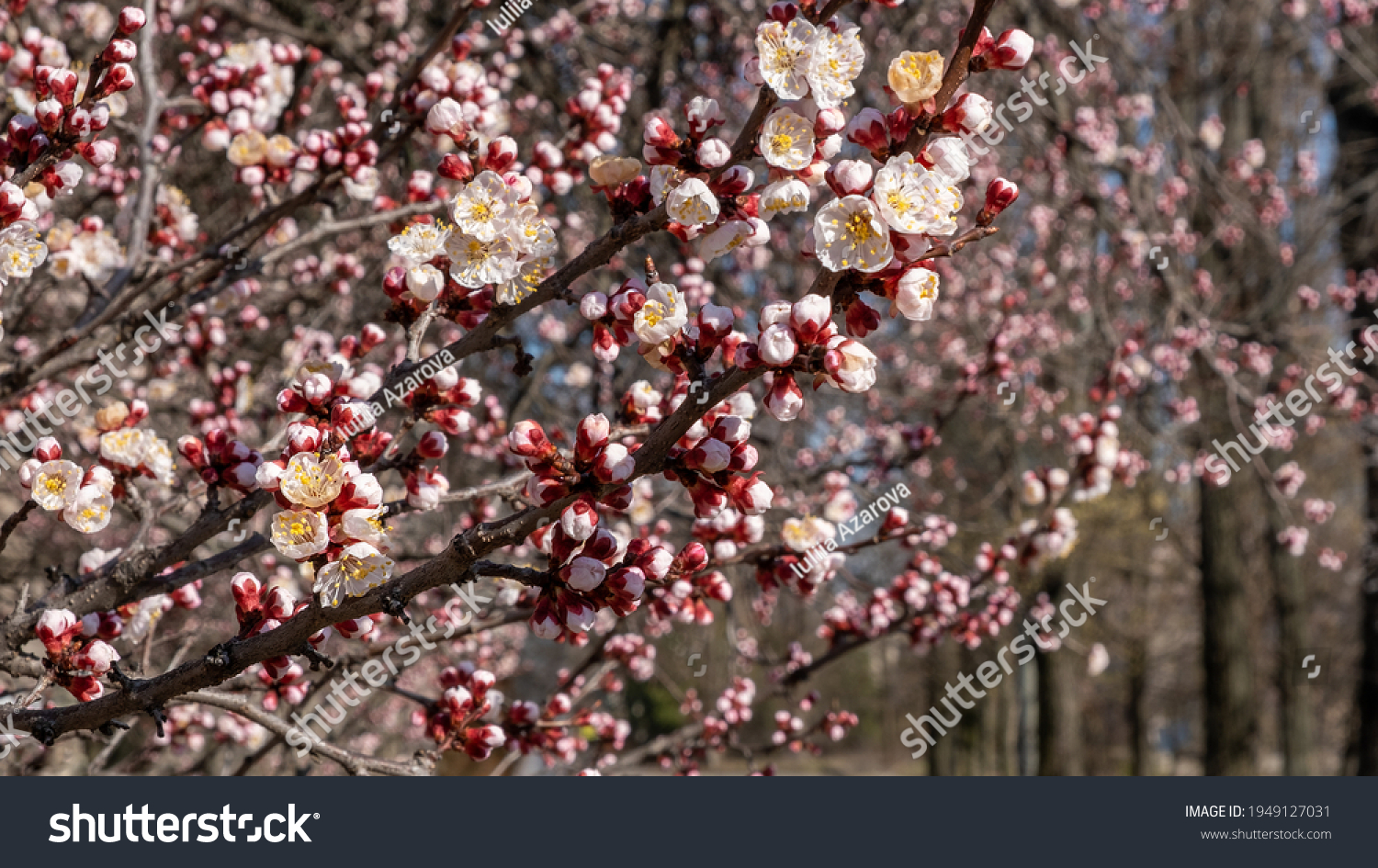 Nature in Springtime. Branch with beautiful white Spring Apricot Flowers on Tree. Nature scene with flowering apricot on blossom background. Botanical bloom concept. Blooming backdrop #1949127031